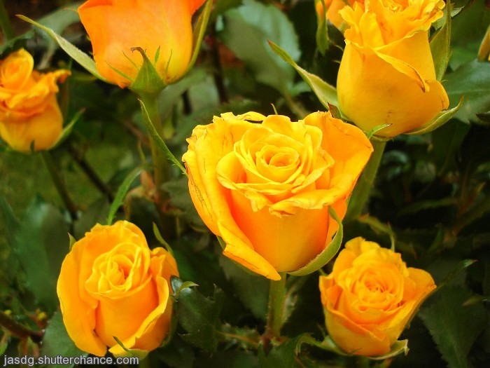 photoblog image Yellows Roses